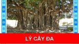 Lí cây đa