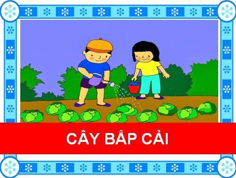 Cây bắp cải